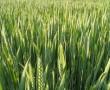 Veszélyes igazság a gabonaszemek mögött