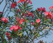"""Életmentő elixír méregből? A """"gyönyörű oleander"""" kivonatának rendkívüli gyógyító hatása"""