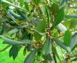 Babér, közönséges (Laurus nobilis)