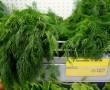Kapor – a növény, mely segít a fogyásban