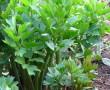 Lestyán, mint gyógynövény – Nagyanyáink titkos fűszere