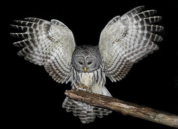 cpic5505_owl