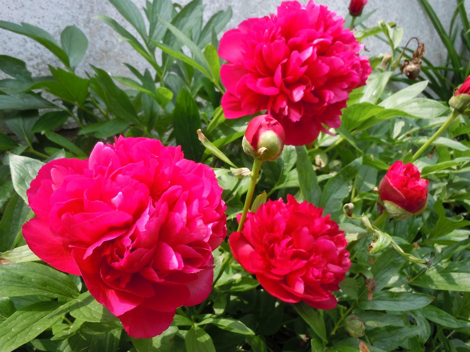 pünkösdi róza