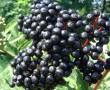 Feketebodza – Az elfelejtett egészség!