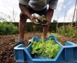 Otthoni zöldségtermesztés: praktikák, zöldségek, amelyek nem bírják egymást!