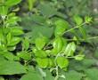 """A növény ami segít a fogyásban és """"Cukorgyilkos"""""""