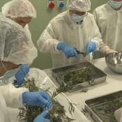 1200x630_310858_marihuanat-termeszt-az-olasz-hadsereg-
