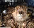 Repülőgépen menekítettek ki cirkuszi oroszlánokat, állatvédők!!