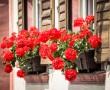 Egyetlen csepp jóddal egész évben örülhetsz a muskátli virágzásának!