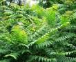 """Az egyik legagresszívabb ( egyet kivágnak, kettő """"nő a helyébe"""" ) növény, ami képes elpusztítani az erdőinket!!"""