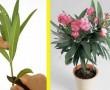 Így szaporítsd a leandert – 1 ágból egy egész cserép virágod lehet!