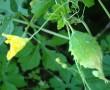 """Ez a növény megelőzi a cukorbetegséget! Ismered a """"keserű uborkát""""?"""