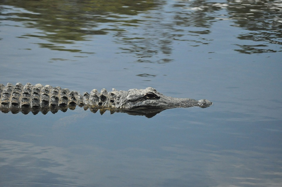 american-alligator-164212_960_720