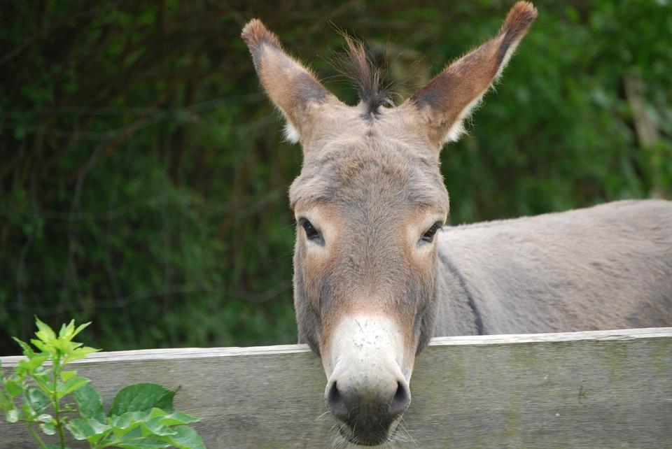 donkey-1000112_960_720