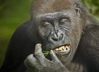 gorilla-1114750_960_720