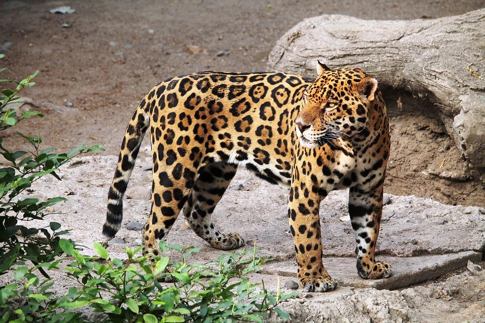 jaguar-1727406_960_720