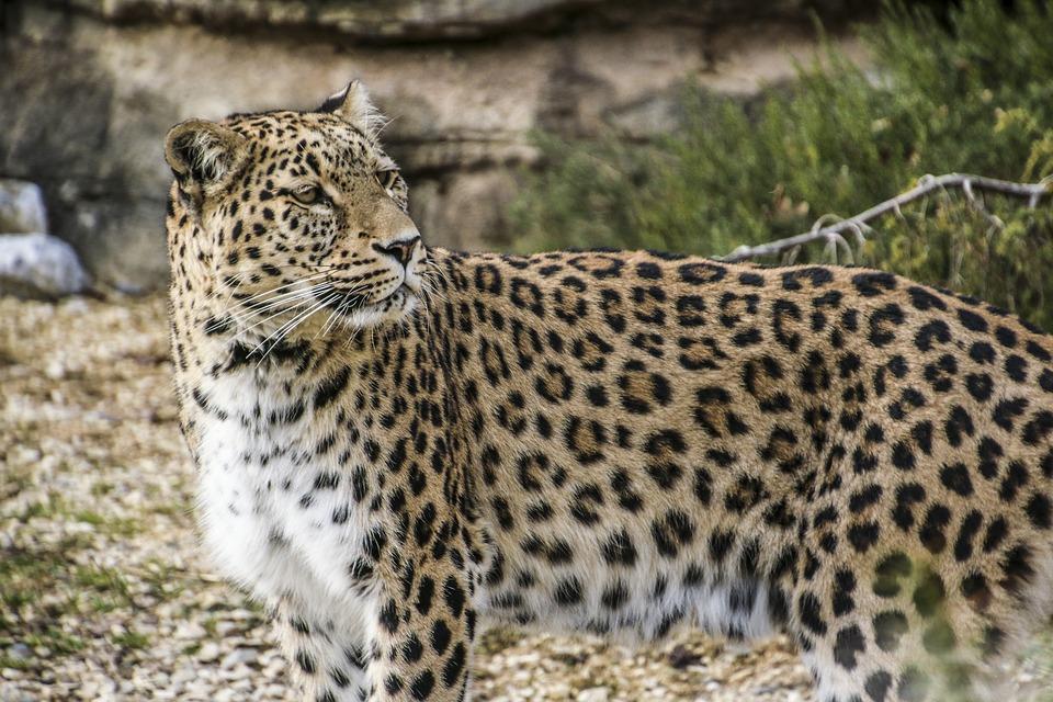 persian-leopard-1660334_960_720