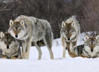 farkasok2