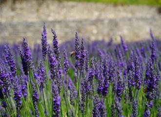 lavender-flowers-1469761_960_720