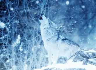 wolf-2288533_960_720