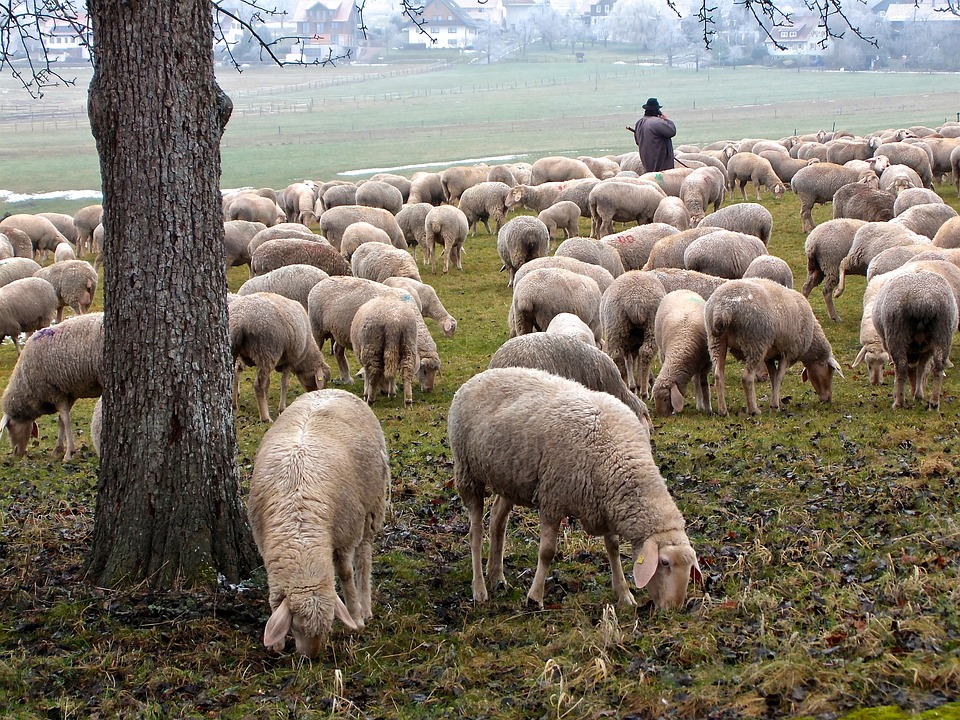 sheep-1684853_960_720