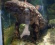 Kihalás fenyegeti természetes élőhelyén, a kínai óriásszalamandrát