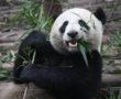 Az eddig ismert legősibb óriáspanda DNS-t találták meg egy kínai barlangban