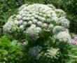 Veszélyes növény terjed Magyarországon! Súlyos mérgezést is okozhat!