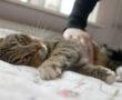 Allergiás vagy a macskára? Megvan a megoldás, nem lesz többé allergiás tüneted!