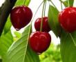A cseresznye és a meggy kevésbé ismert gyógyító hatásai