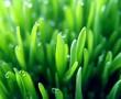Az árpafű, a kiemelten egészséges növényünk