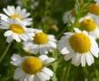 Vízhajtó, élénkítő,emésztést segítő gyógynövények