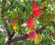 5 tipp, mi lehet a probléma, ha nem terem a gyümölcsfa