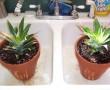 Így tudsz sikeresen ananászt termelni a lakásban!