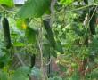Az orosz nagymamám így termeszti az uborkát minden évben! A termés észbontó, idén én is így csinálom!